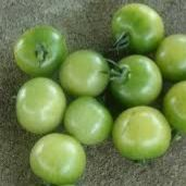 Green Doctors Tomato TM867-10