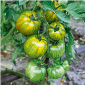 Green Zebra Tomato TM57-20