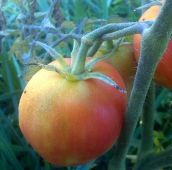 Garden Peach Tomato (Red) TM224-20_Base