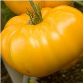 Giant Belgium Tomato (Yellow) TM397-20_Base