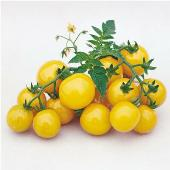 Gold Nugget Tomato TM346-20_Base