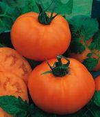 Orange Heirloom Tomato TM899-20_Base