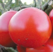 High Carotene Tomato TM451-20_Base