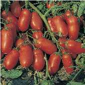 Incas Tomato TM526-10_Base