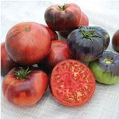 Indigo Blue Beauty Tomato TM780-10_Base