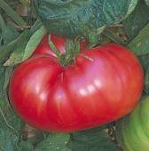 Italian Sweet Tomato TM690-20_Base