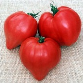 Japanese Oxheart Tomato TM705-10_Base
