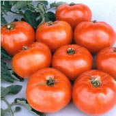 Jet Star Tomato TM371-20_Base