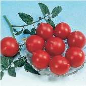Jolly Tomato TM185-10_Base