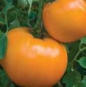 Jubilee Tomato TM70-20_Base