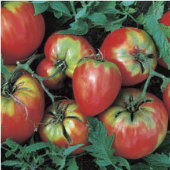 Jung's Giant Oxheart Tomato TM205-10_Base