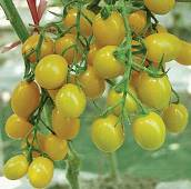 Jelly Bean Tomato (Yellow) TM396-20_Base