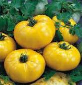 Limmony Tomato TM534-20_Base