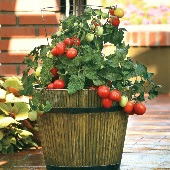 Little Napoli Tomato TM838-10_Base