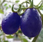 Magic Purple Siberian Cherry Tomato TM901-10