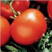 Marglobe Select Tomato TM79-20_Base