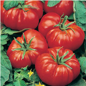 Marmande Tomato TM268-20_Base