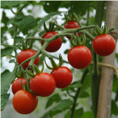 Matt's Wild Cherry Tomato TM80-20_Base