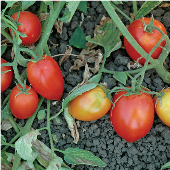 Mely Tomato TM883-10_Base