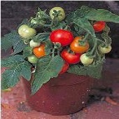 Micro Tom Tomato TM187-10_Base