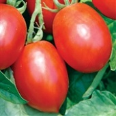 Mochomo Tomato TM893-10_Base