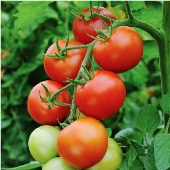 moneymaker tomato plant yield