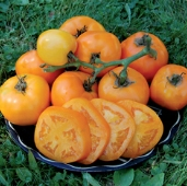 Moonglow Tomato TM547-20_Base