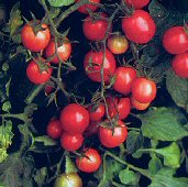 Mountain Belle Tomato TM456-10_Base