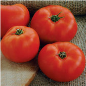 Mountain Glory Tomato TM594-20_Base
