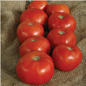 Mountain Majesty Tomato TM856-10_Base