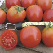 Northern Delight Tomato TM92-20_Base