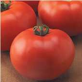Old Fashioned Goliath™ Tomato TM107-20