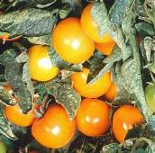 Orange Pixie Tomato TM257-10_Base