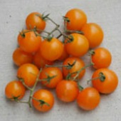 Orange Cherry Tomato TM596-20_Base