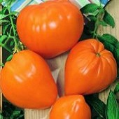 Orange Strawberry Tomato TM98-20