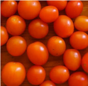 Orange Sunshine Tomato TM552-10_Base