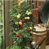 Patio Plum Tomato TM836-10_Base