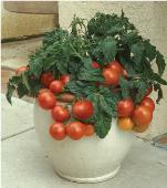Patio Princess Tomato TM905-10_Base