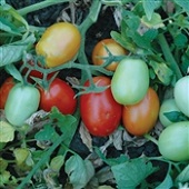 Patty Tomato TM880-10_Base