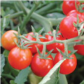 Peacevine Cherry Tomato TM460-10_Base
