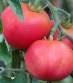 Peach Blow Sutton Tomato TM514-20_Base