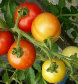 Polar Star Tomato TM625-10