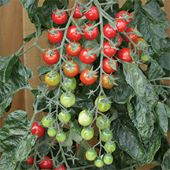 Rapunzel Tomato TM814-10_Base