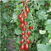 Ravello Tomato TM554-10_Base
