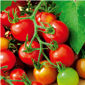Red Alert Tomato TM572-10_Base