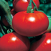 Red Calabash Tomato TM361-10_Base