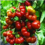 Red Star Tomato TM555-10