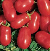 Roma VF Tomato TM392-20_Base