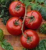 Rutgers Select Tomato TM297-20_Base