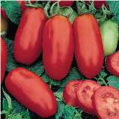 San Marzano Tomato (Determinate) TM445-20_Base